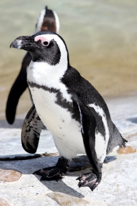 A penguin at the Stuttgart Zoo and Botanical Garden.