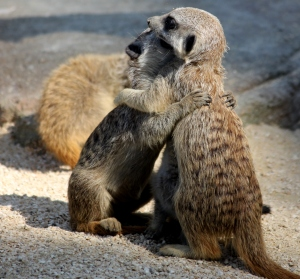 Meerkats 'hugging it out' at the Stuttgart Zoo and Botanical Garden.